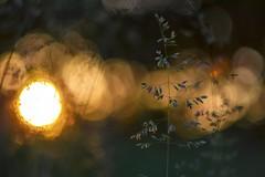 Spring sunset on meadow. (agnieszka.a.morawska) Tags: sunset sun spring meadow beyondbokeh bkhq helios44m helios bokeh bokehlicious
