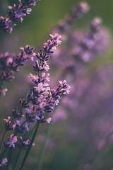 A purple sunset (Inka56) Tags: lavender smileonsaturday preciouspurple goldenhour purple flowers throughherlens