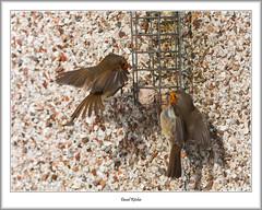 Robins Getting Feisty (flatfoot471) Tags: 2018 bearsden bird eastdunbartonshire february nature normal robin scotland unitedkingdom winter gbr