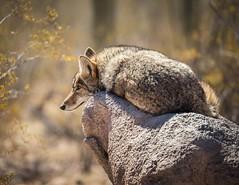 IMG_3552-Coyote (Desert Rose Images) Tags: coyote animal rock captive arizonasonora desert museum