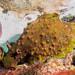 Sea hare Dolabrifera brazieri