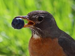 American Robin (Circled Thrice) Tags: robin americanrobin femalerobin blueberry fruit bird backyard garden patio nature natural wild wildlife denver colorado co canon eos rebel t5i 300mm f4