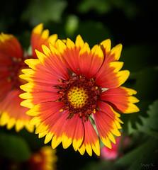 Miss Shinshine (Jocey K) Tags: newzealand nikond750 christchurch flower