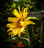 Sunflowers and Beans (Jocey K) Tags: bankspeninsula newzealand nikond750 akaroa sunflower beans flower fence