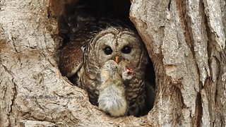 Female Barred Owl with a Rabbit