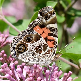 All Natural -- Painted Lady Butterfly