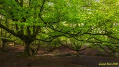 The King. (Ernest Bech) Tags: euskadi vizcaya hayedo fageda arbre arbol trees otzarreta landscape longexposure llargaexposició