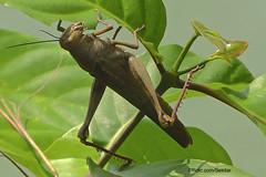 Grasshopper, Bangkalan, Pulau Madura (Sekitar) Tags: pulau madura suramadu insel island indonesia provinsi jawa timur ostjava java eastern grasshopper insect serangga nature alam animal heuschrecke bangkalan