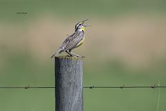 Western Meadowlark (featherweight2009) Tags: westernmeadowlark sturnellaneglecta meadowlarks blackbirds songbirds birds