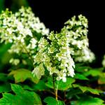 Hydrangea quercifolia : カシアワバアジサイ thumbnail