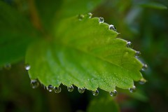 Morgentau (**Karin**) Tags: dew droplets tropfen tau grün green erdbeerblatt strawberryleaf
