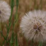 Dandelions thumbnail