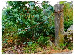 Camino secuestrado. (Los colores del Barbanza) Tags: camino verde arbol cadena cierre parque san roque ribeira coruña galicia barbanza españa spain chain path green tree park chemin de la chaîne verte arbre parc