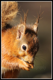 IMG_0097 Red Squirrel