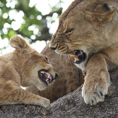Quarrels In The Lion Tree (AnyMotion) Tags: quarrel streit conflict konflikt lion löwe pantheraleo lioness cub tree baum liontree 2018 anymotion morukopjes serengeti tanzania tansania africa afrika travel reisen animal animals tiere nature natur wildlife 7d2 canoneos7dmarkii square 1600x1600 actionaufnahmen ngc npc