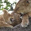 Quarrels In The Lion Tree (AnyMotion) Tags: quarrel streit conflict konflikt lion löwe pantheraleo lioness cub tree baum liontree 2018 anymotion morukopjes serengeti tanzania tansania africa afrika travel reisen animal animals tiere nature natur wildlife 7d2 canoneos7dmarkii square 1600x1600 actionaufnahmen