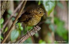Fresher II (lukiassaikul) Tags: wildlifephotography wildanimals wildbirds gardenbirds urbanwildlife littlebirds robin juvenilerobin europeanrobin sunshine spring sunbathing