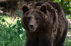 Europäischer Braunbär ... geballte Kraft kam auf mich zu. (gabrieleskwar) Tags: outdoor anhold bär gras grün fell braun portrait tier freigehege