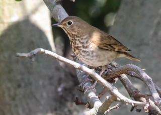 Swainson's Thrush life bird Kenneth Hahn Park Los Angeles California  185
