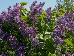Lilacs Blooming In Front Yard 013 (Chrisser) Tags: flowers lilacs shrubs syringavulgaris oleaceae nature ontario canada canoneosrebelt6i canonefs1855mmf3556isstmlens gardening garden fourseasons spring closeups