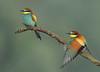 Guêpiers d'europe (guiguid45) Tags: nature sauvage oiseaux bird loiret loire d810 nikon 500mmf4 méropidé guêpierdeurope affût meropsapiaster europeanbeeeater