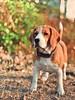 Honey (torqueabhi) Tags: love dogs pet petlover pets eyes paws bokeh mobilephotography iphonex shotoniphone cutie dog portrait beagle