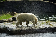 Nanook (Michael Döring) Tags: gelsenkirchen bismarck zoomerlebniswelt zoo eisbär polarbear iuvenil nanook afs70200 d800 michaeldöring