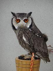 DSC07619 (guyfogwill) Tags: 2018 birds brandonsbirthday devon gbr guyfogwill may northernwhitefacedowl owls paignton ptilopsisleucotis unitedkingdom paigntontorquay