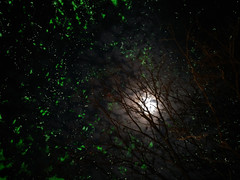 Fire Flies (Glow-Worm) (Onlyshilpi) Tags: moon silhouette night firefly tree branches glowworm mobilephotography