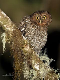 Bare-shanked Screech Owl (Megascops clarkii)