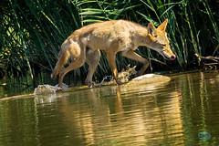 0529 DSC05416x (JRmanNn) Tags: coyote wellstrailhead