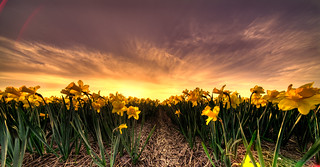 Brave dapper daffodils.