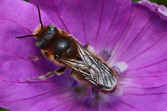 Back - 30 V 2018 (el.gritche) Tags: hymenoptera france 40 garden megachilidae hoplitistridentata male