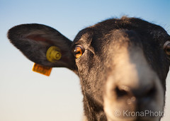 When the sheep is more interested than the photographer.., Norway (KronaPhoto) Tags: 2018 natur vår sheep sau linselus curious nysgjerrig animal dyr husdyr macro face nature close