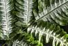 Fern Frond (Geoffsnaps) Tags: nikond810 nikon d810 fx ilovenature nature beautiful beautyofnature nikonnikkor200mmf4difedafmicromacro nikkor 200mm f4d f4 if ed af micro macro 4 d gitzogm5541carbonmonopod gitzo gm5541 carbon monopod acratechpanoramichead acratech panoramic head fern frond plant green white monochrome explored