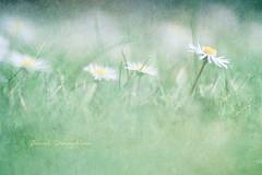 Daisy Daisy (Janet_Broughton) Tags: lensbaby velvet85 daisy daisies gardenphotography flowers weeds pretty green