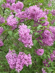 Lombard, IL, Lilacia Park, Pink Lilac Flowers (Mary Warren 13.6+ Million Views) Tags: lombardil lilaciapark garden park nature flora plants green leaves foliage pink blooms blossoms flowers lilacs