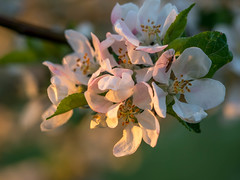 Appel blossom caught in the first rays of sunshine (Unni Henning (also Instagram @unnikarin59)) Tags: appelblossom spring macro fly closeup nature orchard tree leaves pink goldenhour stamens plant outdoor england warwickshire bokeh narrowdepthoffield
