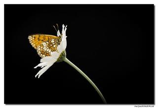 Mélitée du mélampyre ou Damier Athalie - Melitaea athalia #2