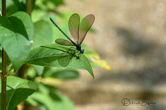 Stretching... (dbifulco) Tags: nature damselfly ebonyjewelwing insect male newjersey odenata wildlife yard
