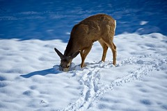 Mule Deer Buck (After Antler Shedding):  Looking for Breakfast (Ginger H Robinson) Tags: muledeer deer buck antlershed spring morning snow rockymountain frontrange colorado sunlight