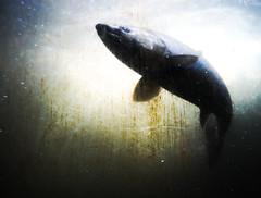 salm on ladder (n.a.) Tags: salmon fish ladder ballard locks seattle wa us water