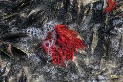 Red on Black (Peter R Steward) Tags: 0basictags 1animalsmetazoaoranimalia 6places actiniariaorderseaanemones africa anthozoaclass bivalviaclass cnidariaphylum gordonsbay kogelbay macro molluscaphylum mytilidaefamilysaltwatermussels mytiloidaorder nature pteriomorphiasubclass rockyshore southafrica westerncape exif:focallength=150mm exif:aperture=ƒ11 exif:lens=150mm exif:isospeed=500 camera:make=canon camera:model=canoneos5dsr exif:model=canoneos5dsr geolocation exif:make=canon seaanemone red black