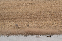 Sandhill Cranes & Canada Goose (turn off your computer and go outside) Tags: 2017 antigonecanadensis birdsofminnesotaandwisconsinpage121 birdsofminnesotaandwisconsinpage59 brantacanadensis canadagoose danecounty march wi wsofieldtrip wisconsin bird blurry artistreference coldmorning critter earlyspring greyskies groupbirdingbycar hazysky identified nature outdoors sandhillcrane spring windyday blurryartistreference