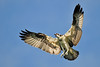 NiceOspreyWings3 (Rich Mayer Photography) Tags: osprey bird birds avian animal animals fly flying flight nature wild life wildlife nikon