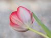 Different point of view (Karsten Gieselmann) Tags: 40150mmf28 blumen blüten bokeh dof em5markii frühling grau grün jahreszeiten mzuiko microfourthirds natur olympus pflanzen rot schärfentiefe tulpe blossom flower gray green kgiesel m43 mft nature red seasons spring tulip