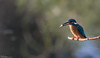 Kingfisher and catch (Steve (Hooky) Waddingham) Tags: animal bird british countryside fishing wild wildlife river morning