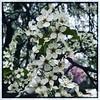 And then the sidewalk trees. #Takoma #dc #dclife #washingtondc #iphone #iPhonemacro #macro  #flower #flowersofinstagram (Kindle Girl) Tags: iphone takoma dc dclife washingtondc iphonemacro macro flower flowersofinstagram
