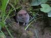 Campagnol (Pauline Moinereau) Tags: campagnol mammalia mammals mammifère muridae muridés rodentia rongeurs vole