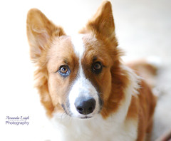 Corgi Puppy (Amanda L. Photography) Tags: corgi dogs puppy petsitting petsitter burleson tx texas ears